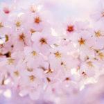 Felicitare cu flori de cires